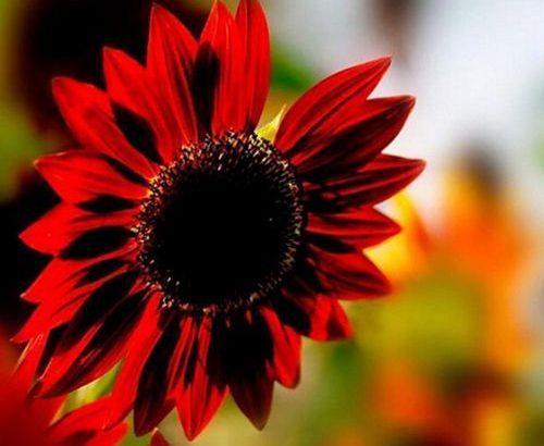 40pcs Sunflower Seed Red Fortune Flower Seeds Garden Yard Plant Decor