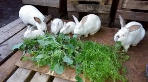 Hyla Hybrid Rabbit; Fast Growing Rabbit