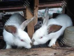 Hyla Hybrid Rabbit; Fast Growing Rabbit