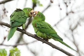Green Parrot (Parakeet) Pair