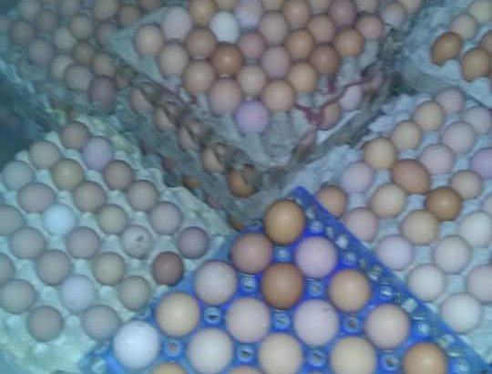 DAY OLD BROILERS0  LAYERS 400  NOILERS 400 BRAHMA00 49